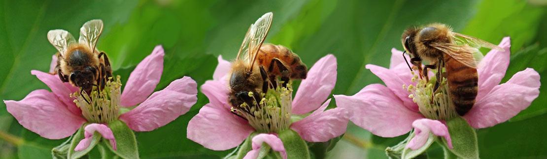Nos abeilles